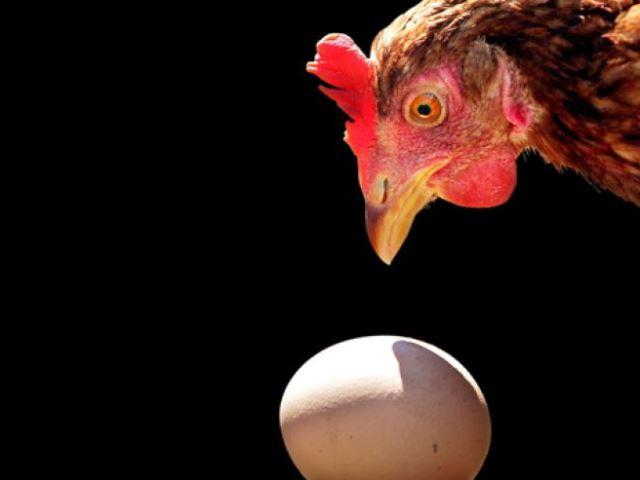 Курица над яйцом