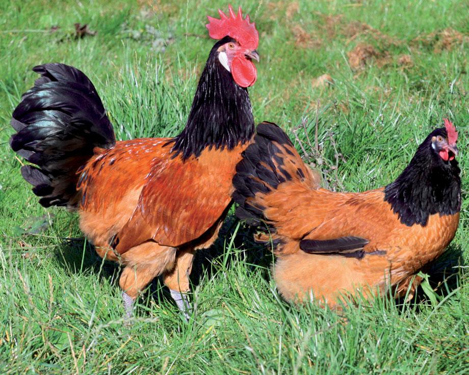 Домашняя курица форверк