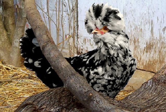 Черно-белый Гудан в курятнике