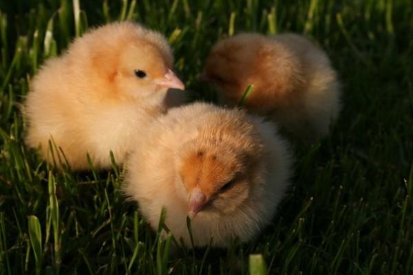 Новорожденные птенцы в траве