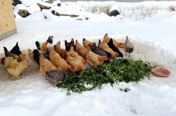 Куры на снегу клюют траву