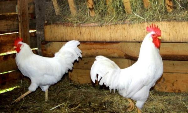 Русские белые куры в загоне