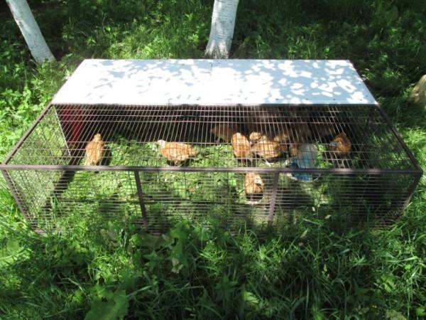 Подросшие цыплята в клетке