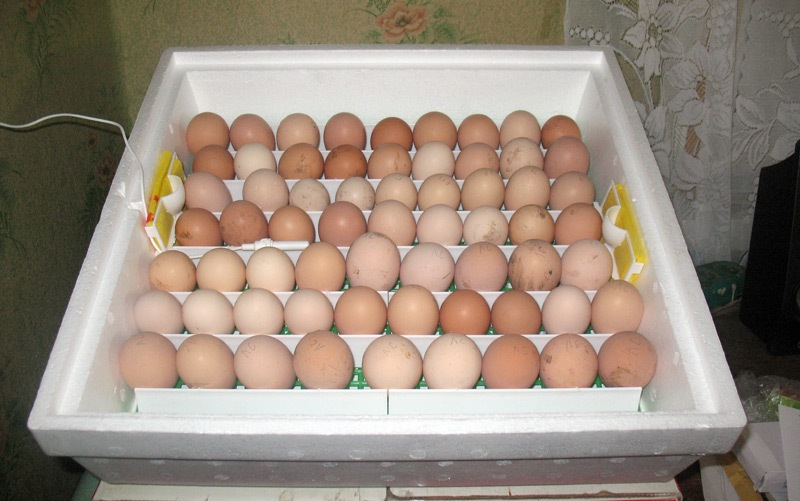 Куриные яйца в домашнем инкубаторе