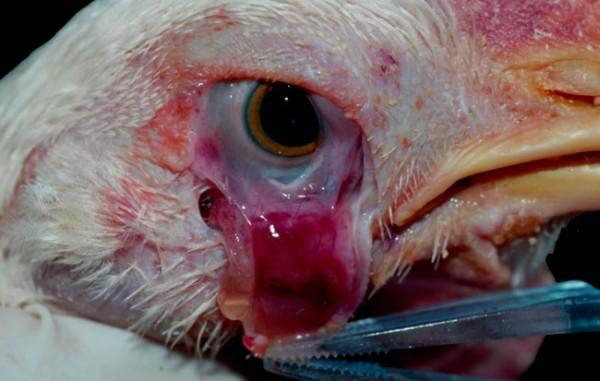Птица, больная конъюнктивитом