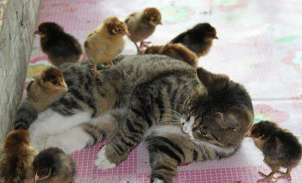 Мама кошка и цыплята