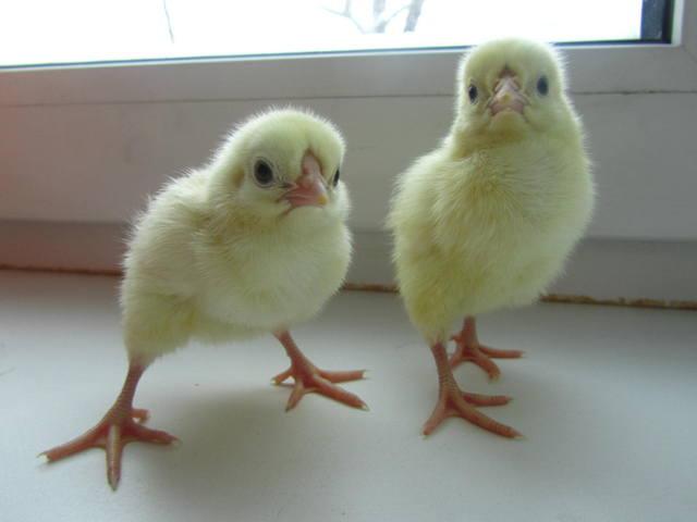 Красивые и крупные Первомайские цыплята
