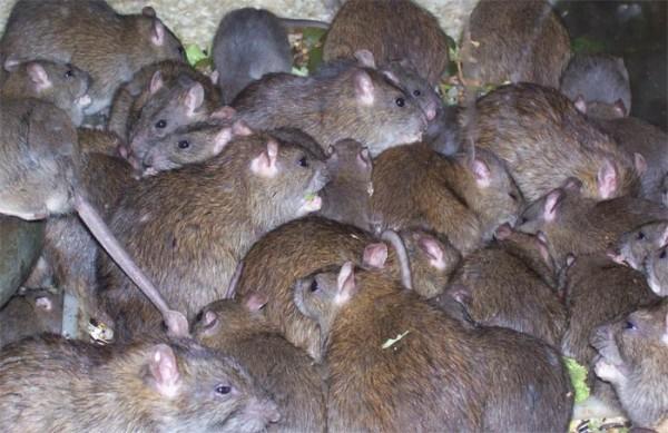 Большая популяция серых крыс