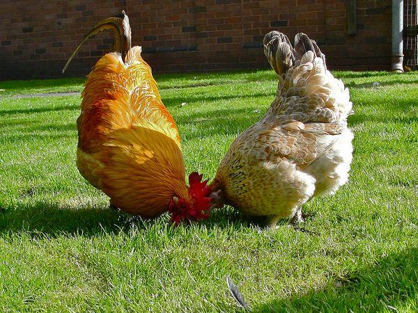 Петух и курица на лужайке