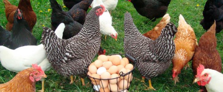 Несушки разных пород возле яиц