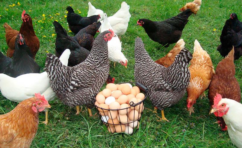 Куры-несушки возле корзинки яиц