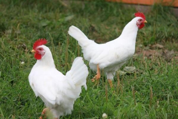 Яйценоская порода белый Леггорн