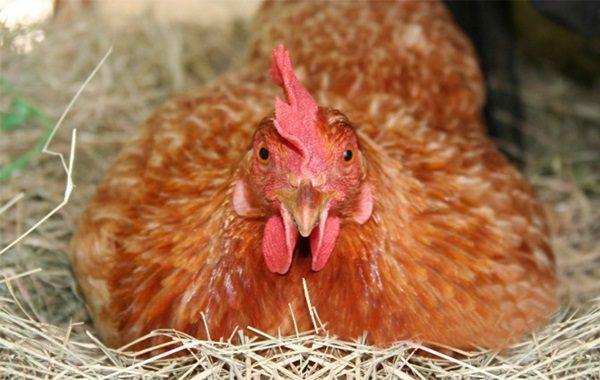 Курица в гнезде рыжая