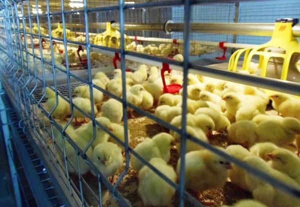 Бройлерные цыплята в клетках
