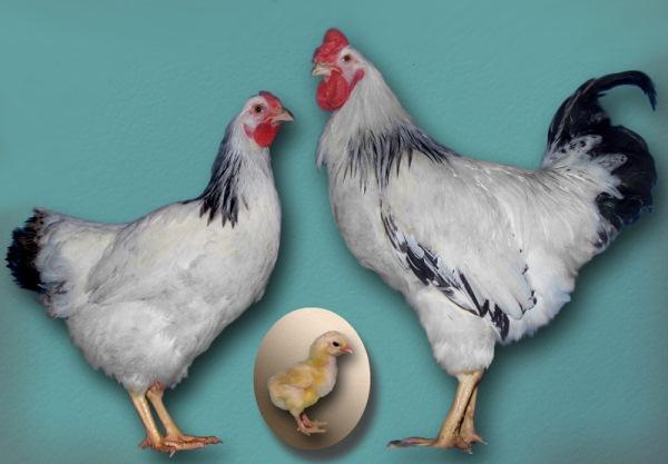 Первомайская порода кур
