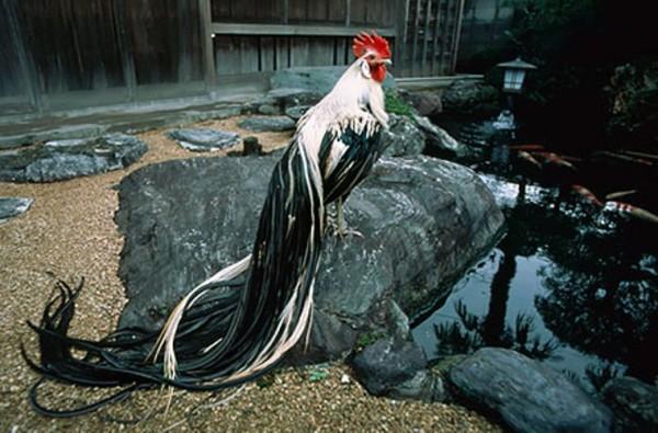 Красивый петух Феникс на камне
