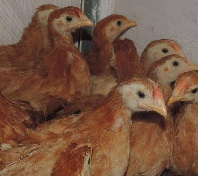 Полтавская глинистая порода - подросшие цыплята