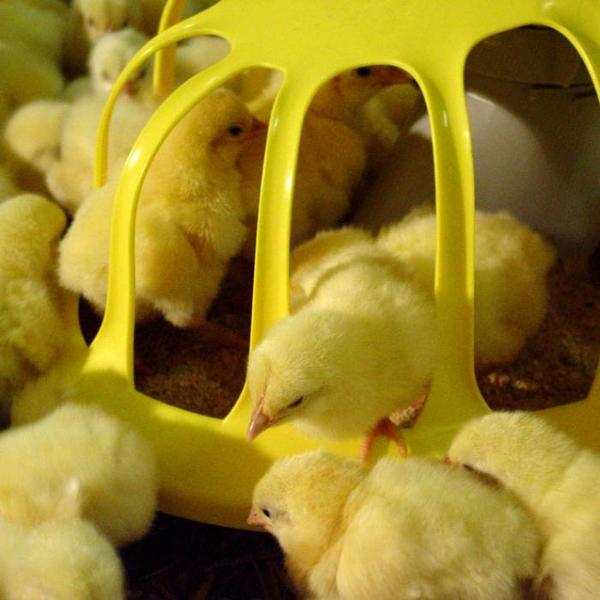 Птенцы едят из кормушки