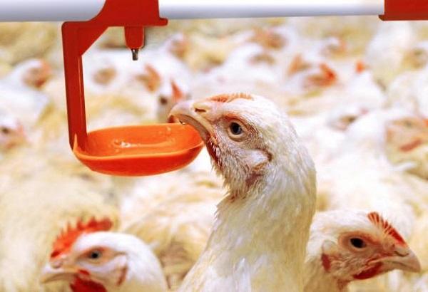 Водопой молодых бройлеров на птицефабрике