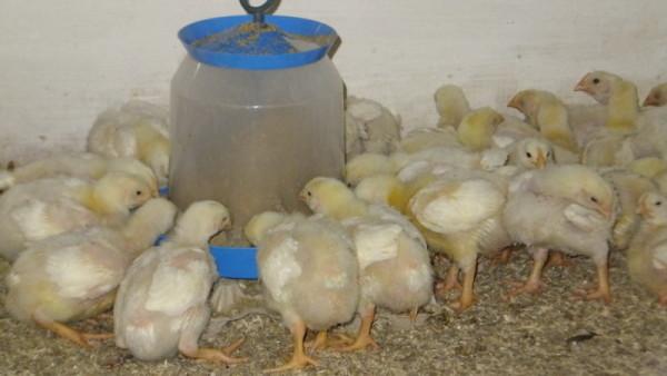 Цыплята на глубокой подстилке