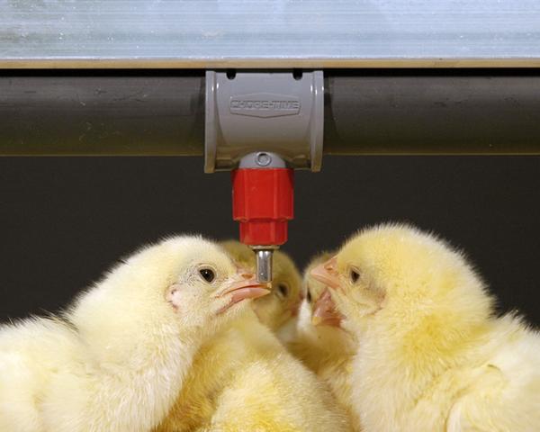 Цыплята пьют воду с лекарством