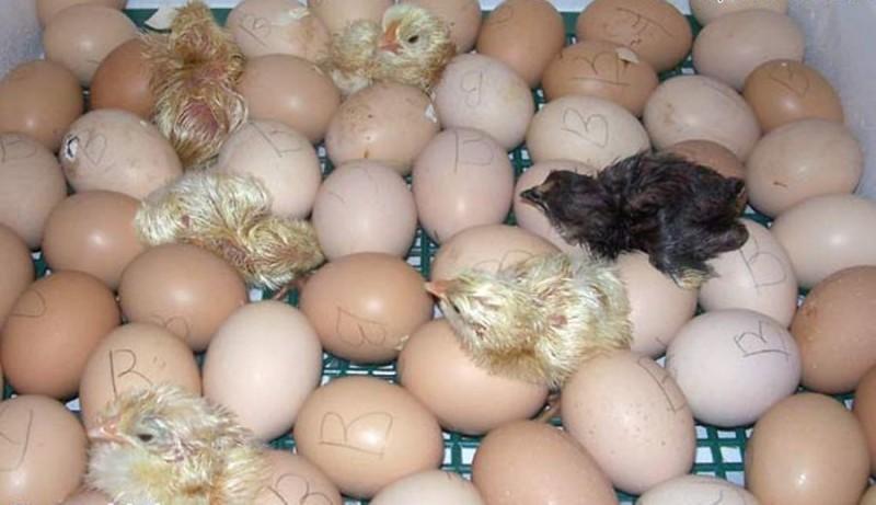 Цыплята только что вылупились