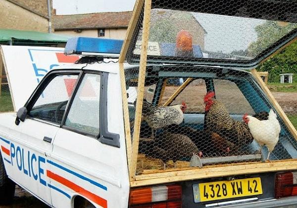 Куры, живущие в бывшей полицейской машине