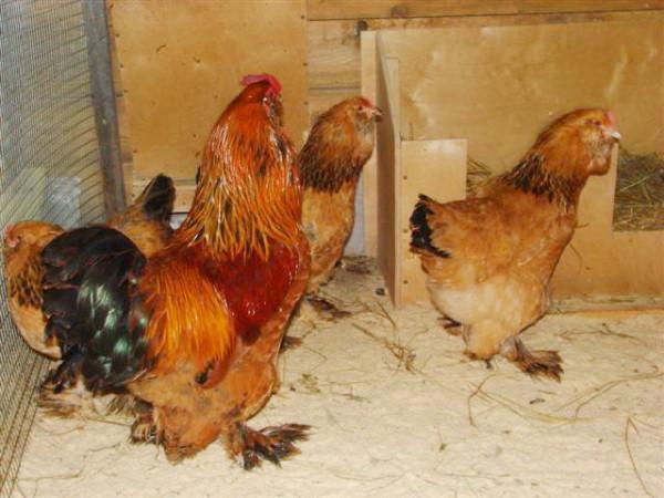 Лохмоногие ушанки - петух и куры в курятнике