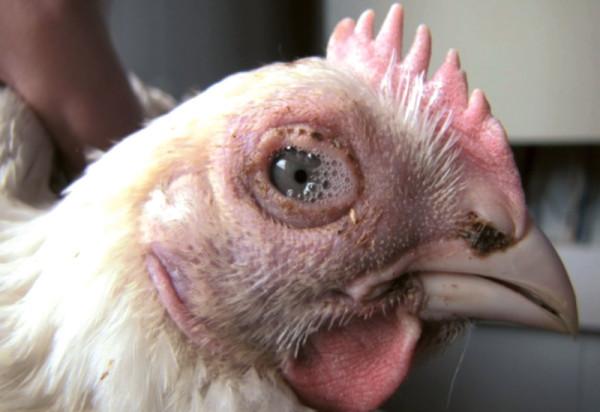Опухшие от сальмонеллеза глаза курицы