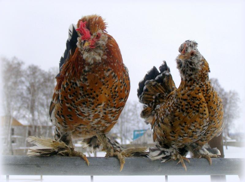 Бентамка алтайской породы (петух и курица)