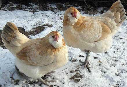 Пшеничный окрас Пасхальной породы кур