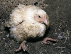 Больной нахохлившийся цыпленок