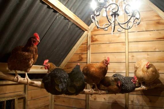 Курицы в освещенном курятнике