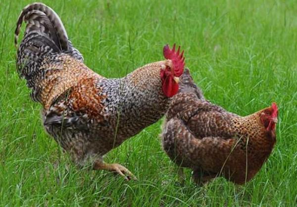 Петух и курица в траве