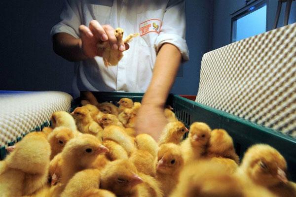 Работник птицефабрики берет цыпленка