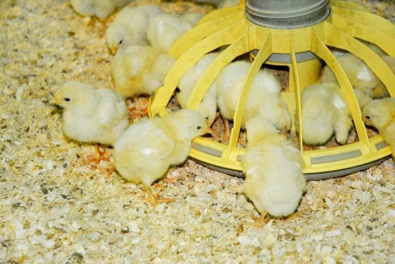 Маленькие цыплята питаются из кормушки