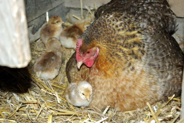 Несушка с цыплятами