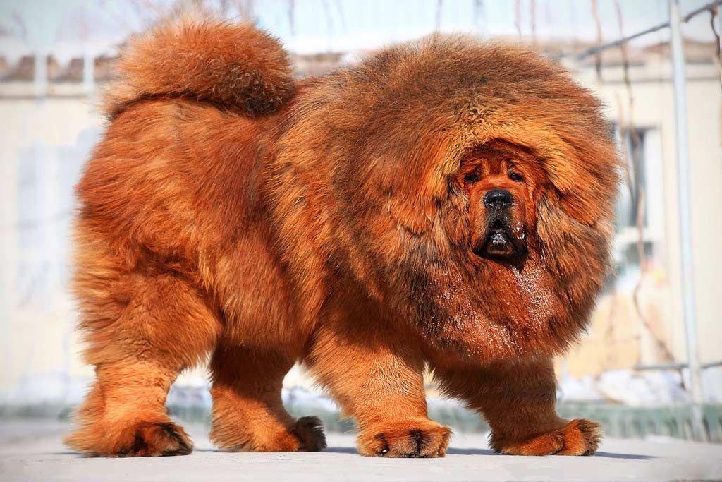 фото собак крупных лохматых пород было