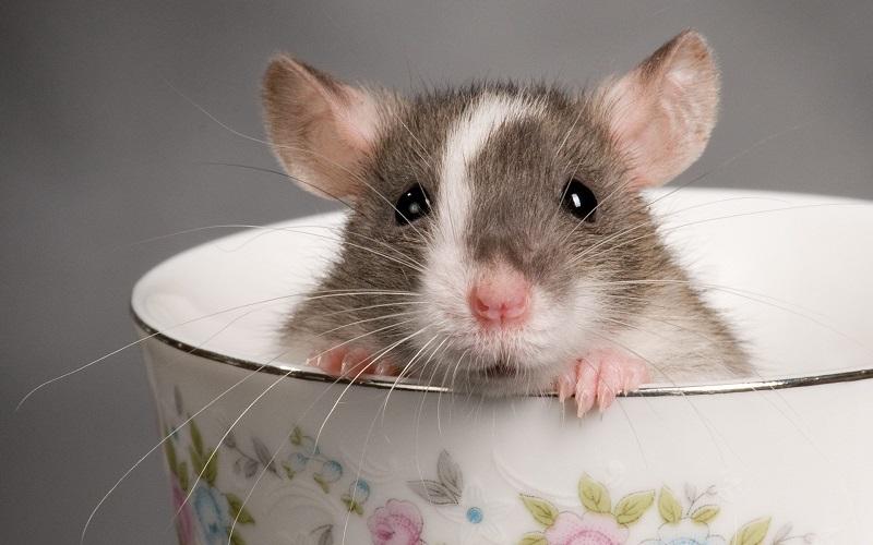 Крысы очень милые