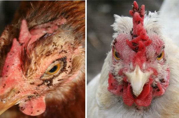 Куриные блохи на голове кур