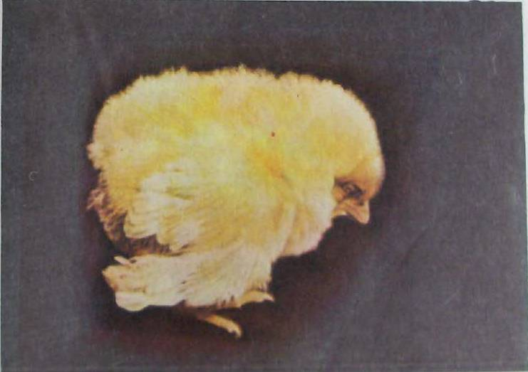Больной цыпленок