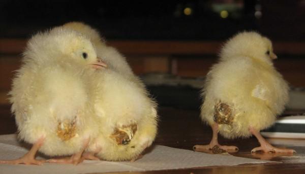 Три больных цыпленка