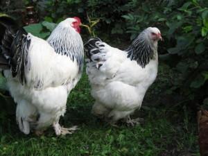 Петух и курица Брама