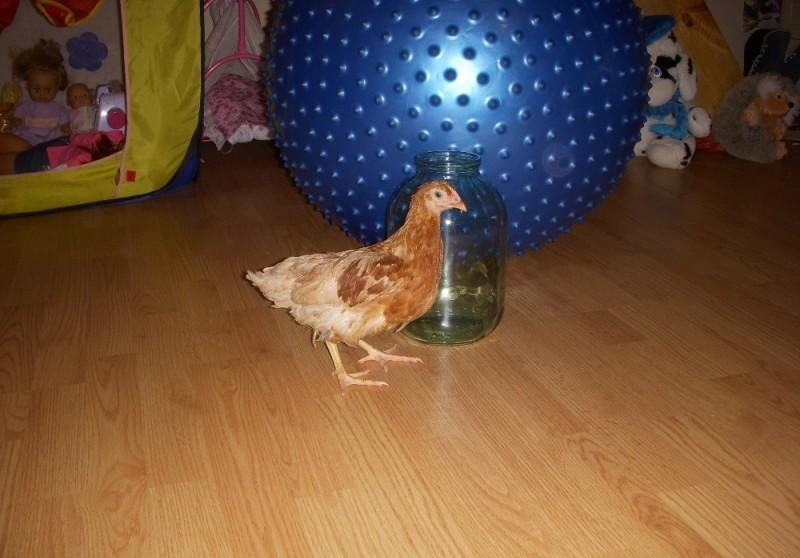 Подрощенный цыпленок в комнате