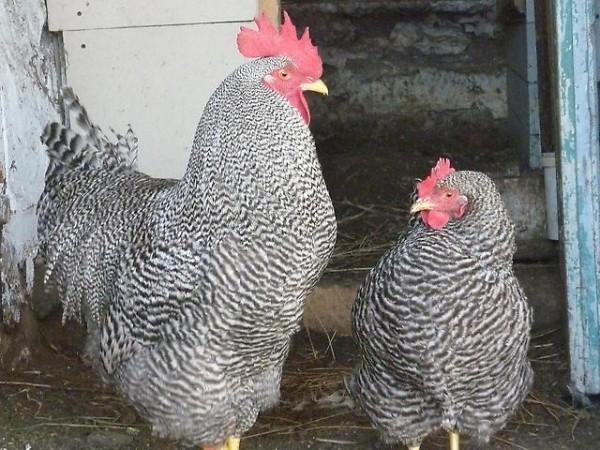 Петух и курица Плимутрок
