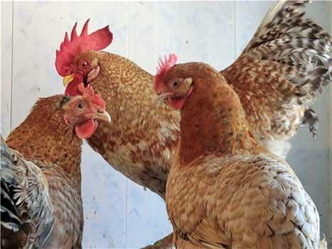 Две курицы и петух Царскосельской породы