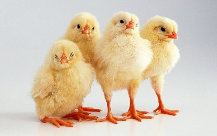 Четыре цыпленка