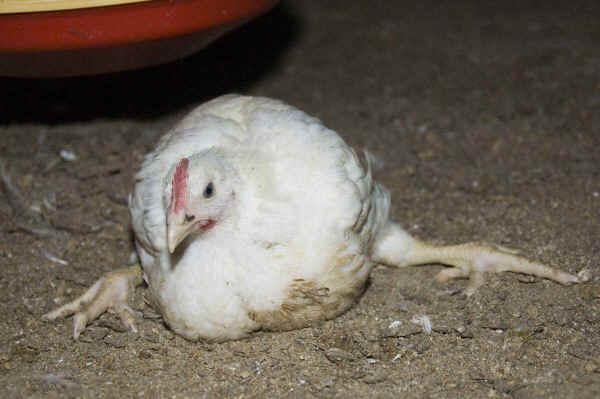 Почему цыплята и куры падают или садятся на ноги: причины и лечение