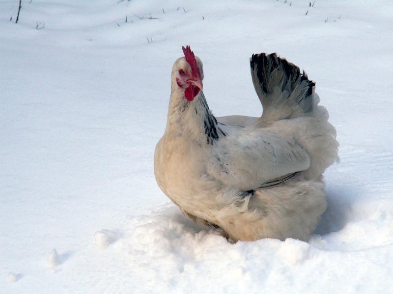 Курочка гуляет в снегу