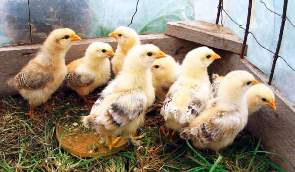 Недельные цыплята в клетке
